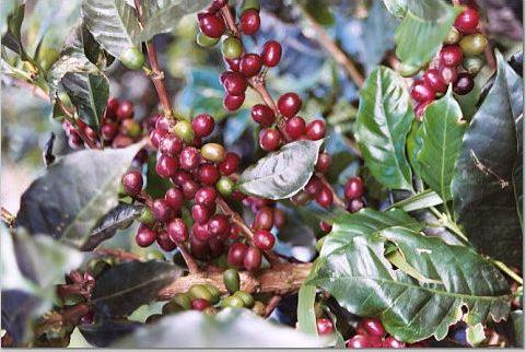 Diferencias entre café Arábica y Robusta