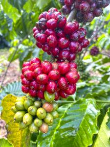 Vietnam secado del café
